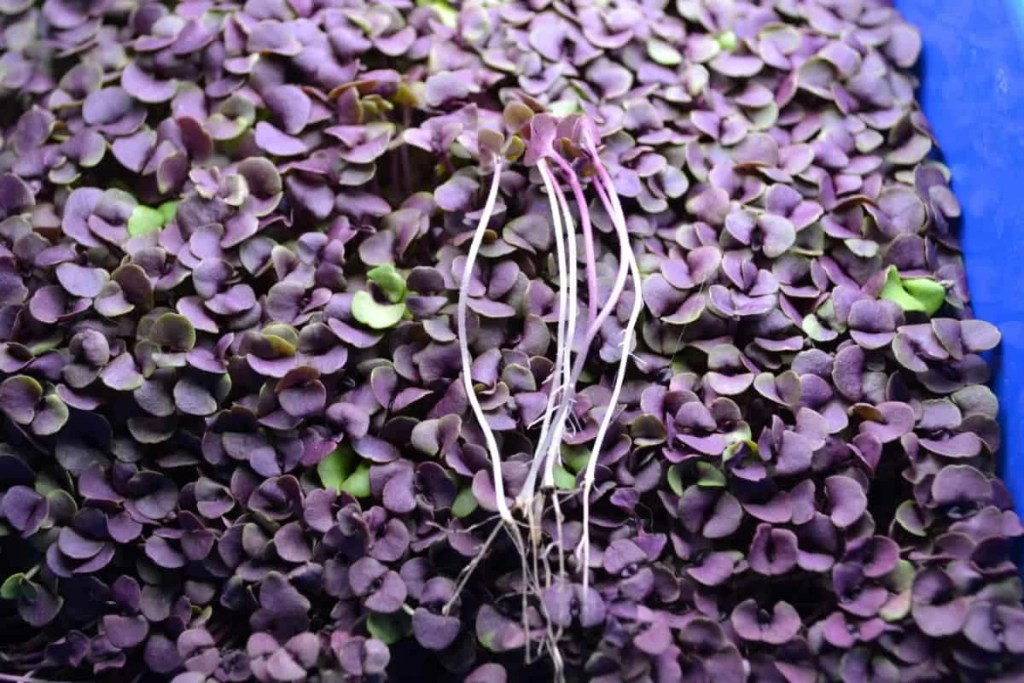 Purple basil, also known as dark opal basil is shown in the microgreen sprouting phase of the plant, in this file photo.