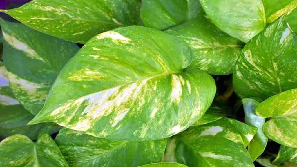 Devil's Ivy aka Pothos