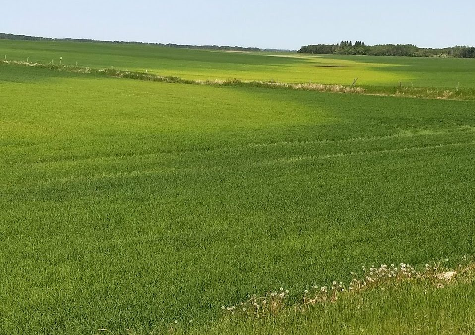 What Causes Crop Yellowing?