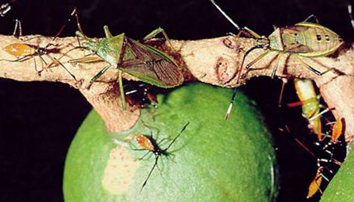 A New Solution for Fruit Spotting Bug control