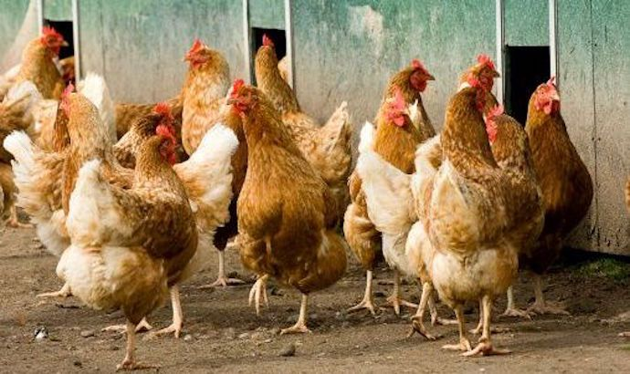Impact of bird flu on your pocket