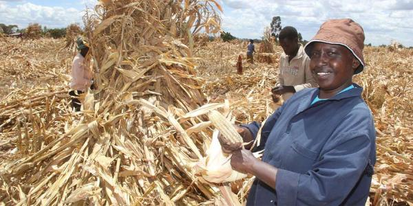 Cheap maize from Uganda likely to hurt local farmers