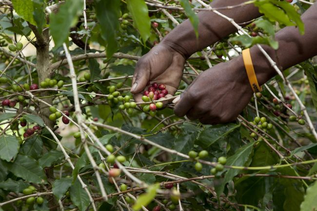 Zimbabwe's coffee sector in sorry state