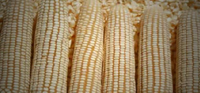 Enough maize stocks in Zimbabwe