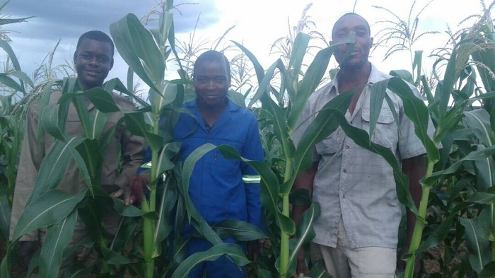 Maize production forecasts downgraded