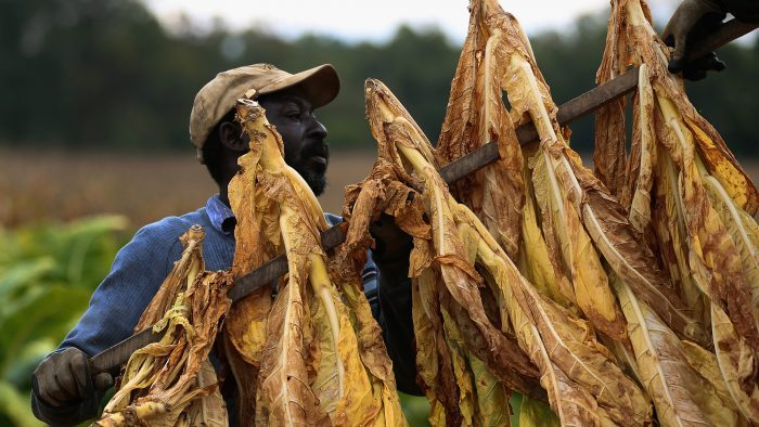 Tobacco selling farmers, RBZ brace for a clash