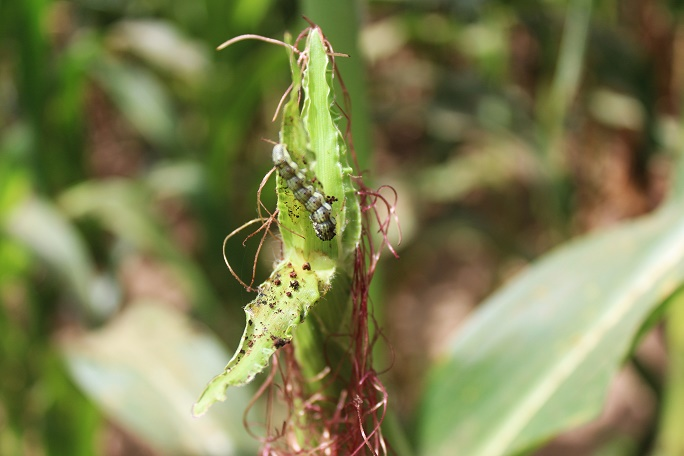 Farmers Crippled by Fall Armyworm Outbreak Are Selling Off Farms