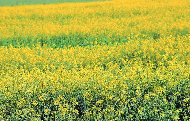 Herbicide carryover and sprayer contamination in canola planting