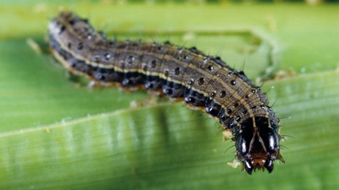 Use of organic methods in the control of fall army worms