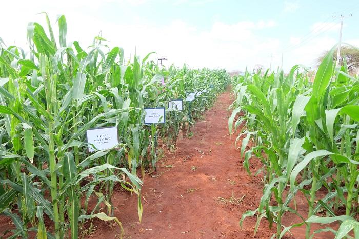 Tanzania's GMO maize field trials show promise