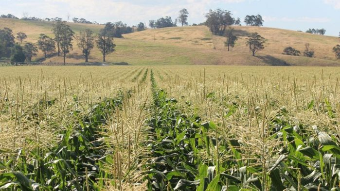 A cut in summer crop output but not worse off