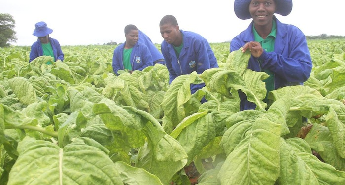 Zimbabwe farmers earn US $4.6m from tobacco sales