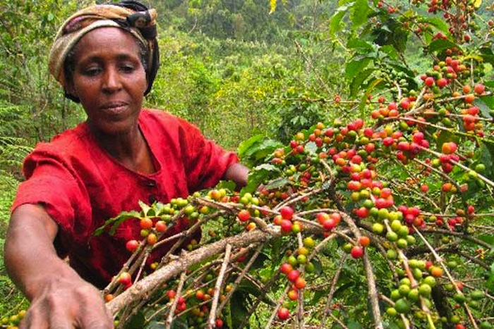 Kenyan coffee farmers warned of impending failure owing to prevailing drought