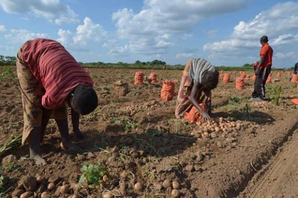 Yields more than doubled during 4-year project with smallholder farmers