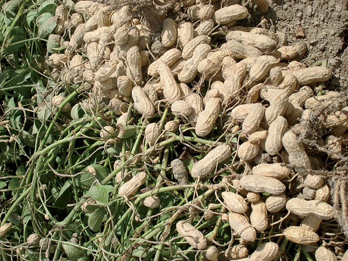 CSIR-SARI introduce two improved high-yielding groundnut seed varieties  in Ghana
