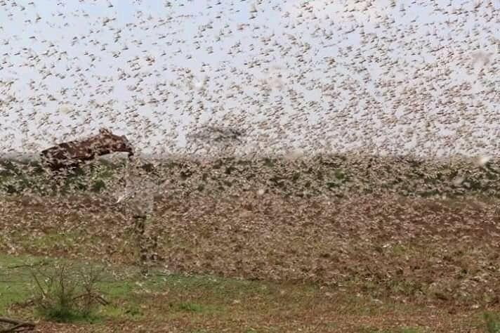 Kenya facing the worst desert locust outbreak recorded since 1950