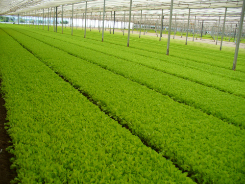 Fresh-cut salads and other vegetables, new field tests with Arrigoni screens