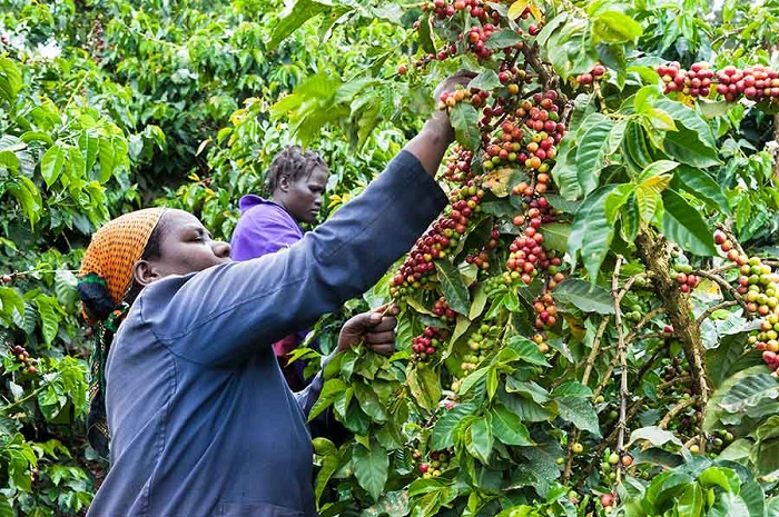 World Bank disburses US$ 14m for coffee revitalization plan in Kenya
