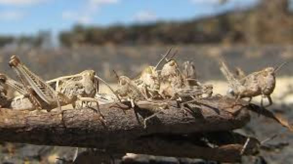 Industry has pesticides ready for locust spraying, as swarms threaten on delays