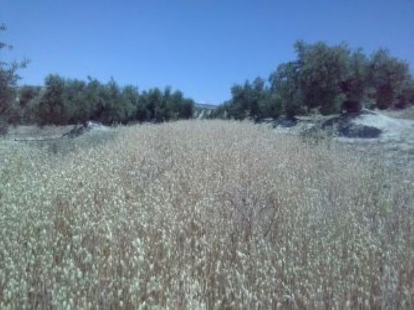 Sowing oats in the alleys of olive groves increases profitability and reduces erosion