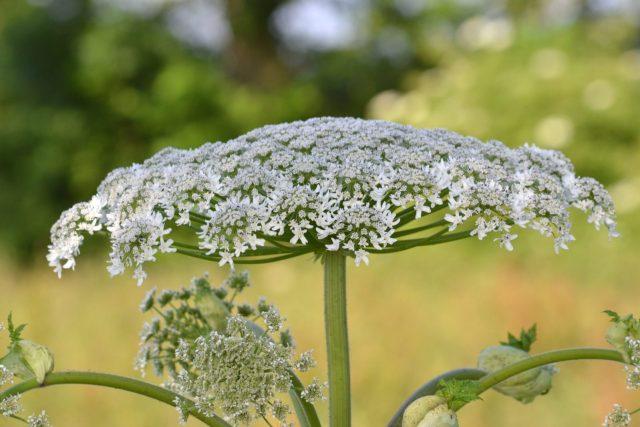Flor da Heracleum mantegazzianum