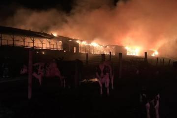 incendio mata 550 vacas