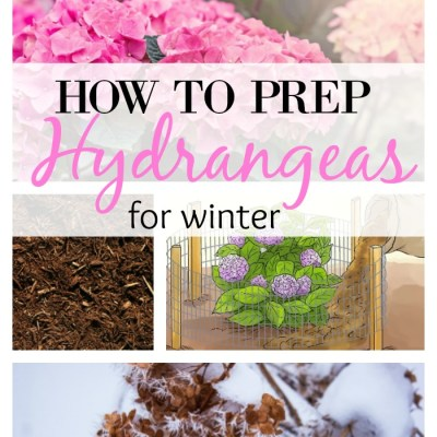 How To Prep Hydrangeas For Winter Months In 6 Steps