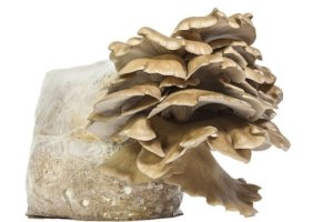 Oyster Mushroom Growing Kit