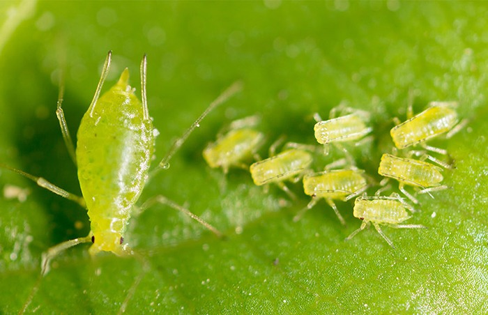 How To Control Pests In Your Hydroponic System