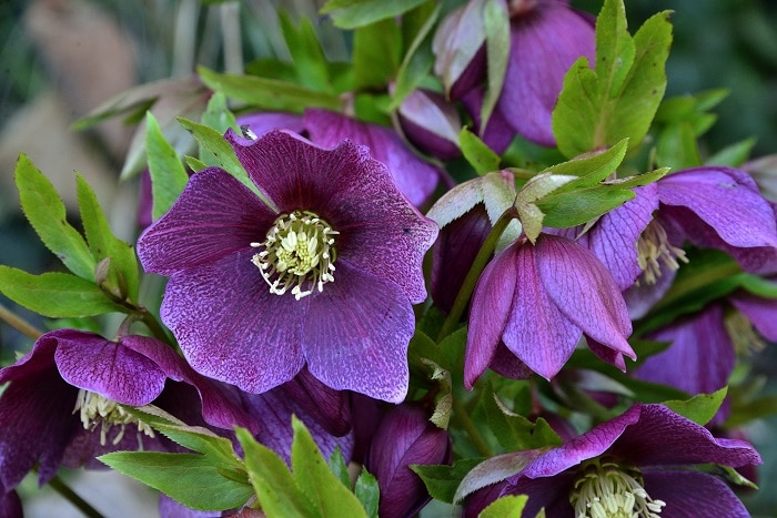 Collecting Hellebore Seeds for Plant Propagation