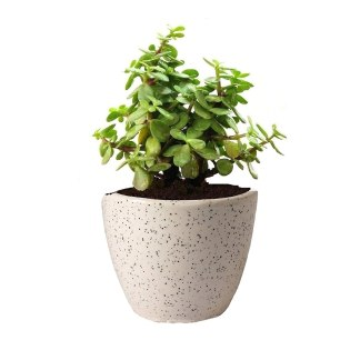 Guuchuu Good Luck Jade Plant In Round Dew Ceramic Pot Air Purifier