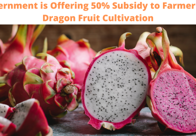Government is Offering 50% Subsidy to Farmers for Dragon Fruit Cultivation
