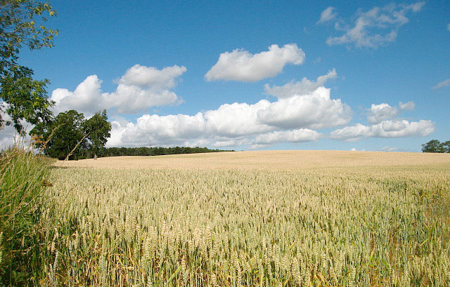 GM crops could be planted in the UK next year