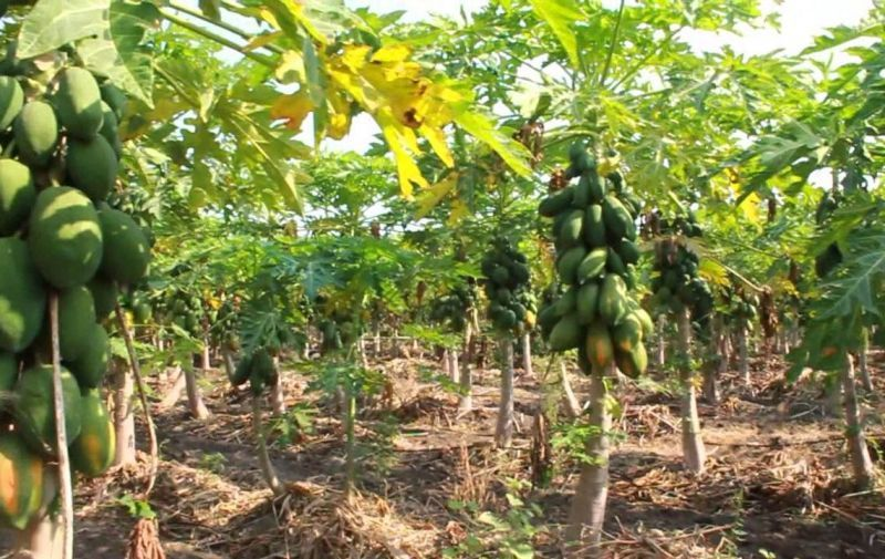 Successful Papaya Growing – What You need To Know – FarmLINK
