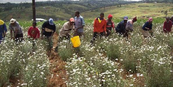 Image result for Pyrethrum Farming in Kenya
