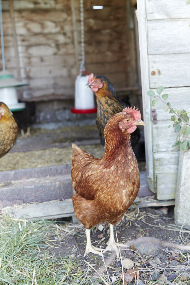 Chickens at Lidham Hill farm, shoot location in Sussex