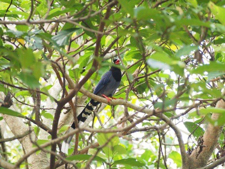 Blue magpie, near Taipei, Taiwan