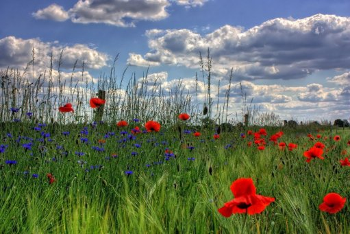 Poppy Field-farmStay-Brandenburg-Germany