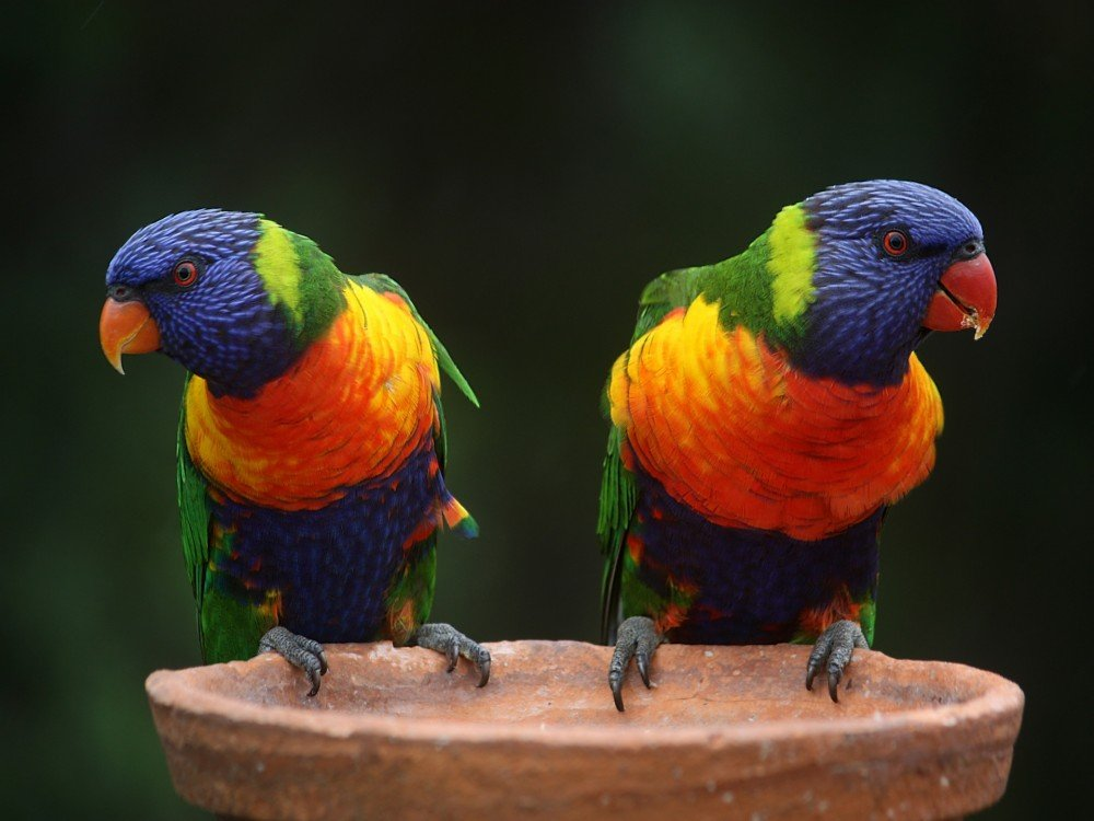 australia gold coast queensland farmstay rainbow-lorikeet-