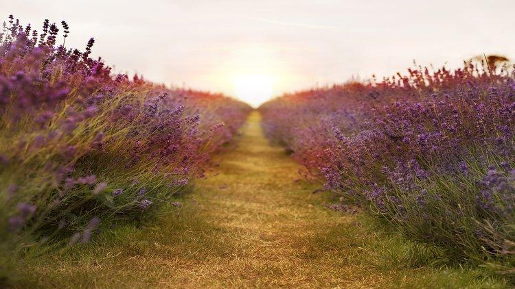 Lavender Farm Provence South of France