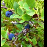 Blueberries_Oct