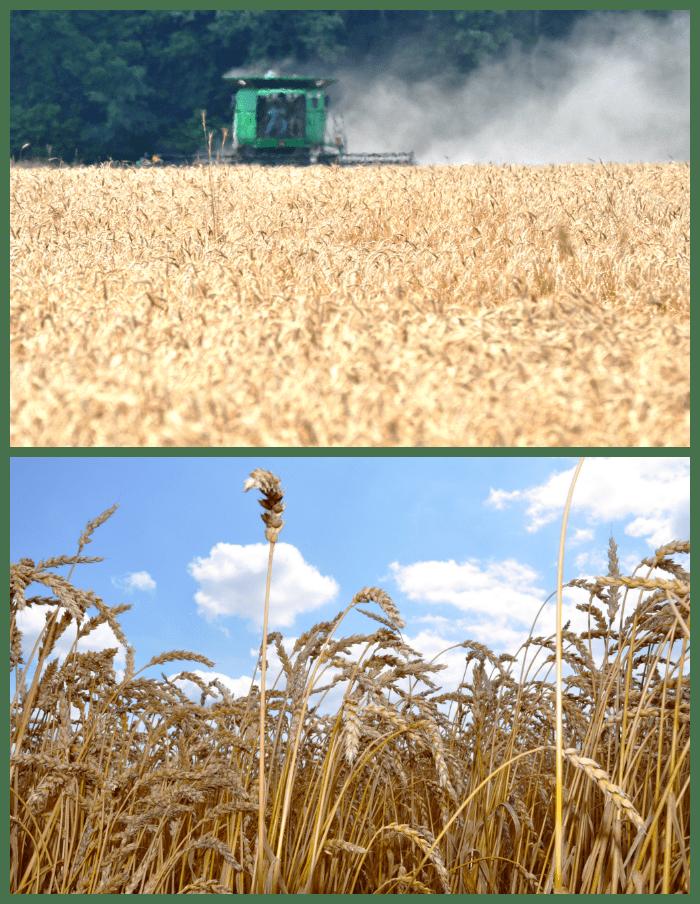 Honey Wheat Oat Bread Harvest