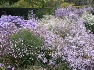 The smaller flowered species Asters.