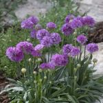 A lovely dwarf alpine especially suited for coastal sites
