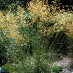 Tall ornamental grass stipa gigantea