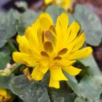 Celandine varieties are increasing every year, Double bronze is a lovely one.