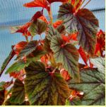 Conservatory plants - Begonia'Red Undies'