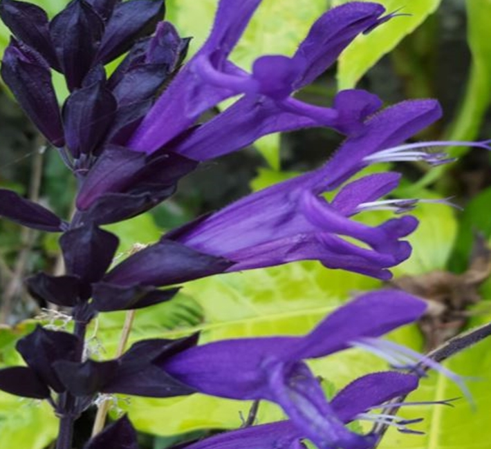 Salvias, a stunning plant for sunny sites