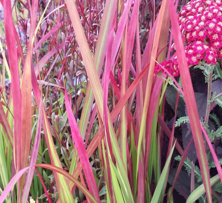 Imperata cylindrica rubra, a striking ornamental grass