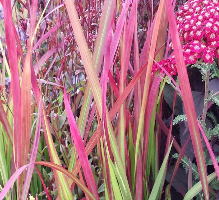 Imperata cylindrica rubra, a striking ornamental grass